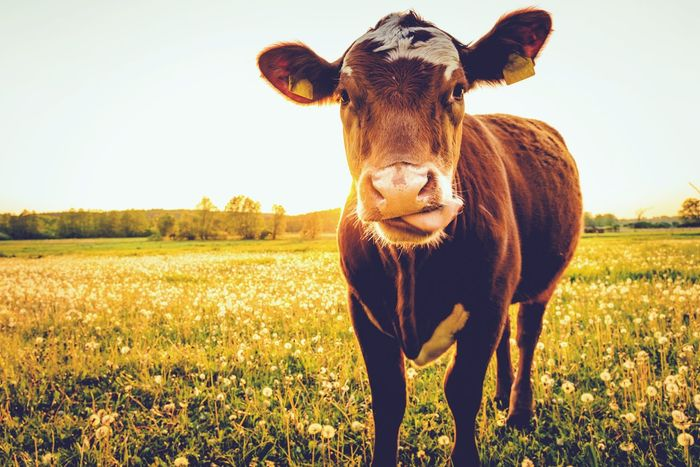 Happy cow Meat! Meat! Meat! Milkproduct Milk Cow Field Domestic Animals Animal Themes Looking At Camera Portrait Agriculture One Animal Standing Mammal Nature Sunlight Day Livestock Outdoors Rural Scene Grass No People Beauty In Nature Close-up