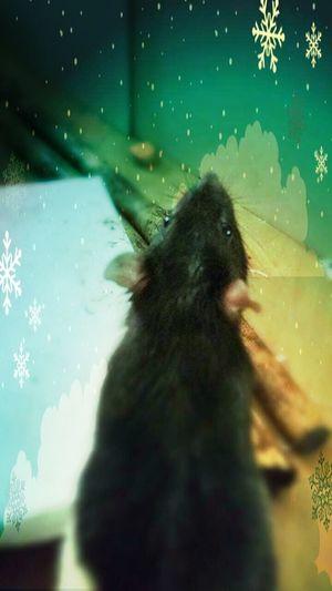 sᴋʏᴘᴘɪ ᴘʜᴏᴛᴏɢʀᴀᴘʜɪᴇ ᴘʜᴏᴛᴏ Animal Animals Ratties Rat Cutie Pet Rats Rattie Ratte Ratstagram Freelance Life ʜᴀᴘᴘʏ