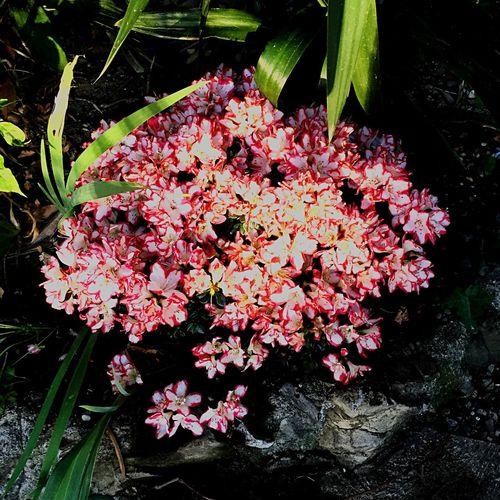 L'azalea del mio giardino