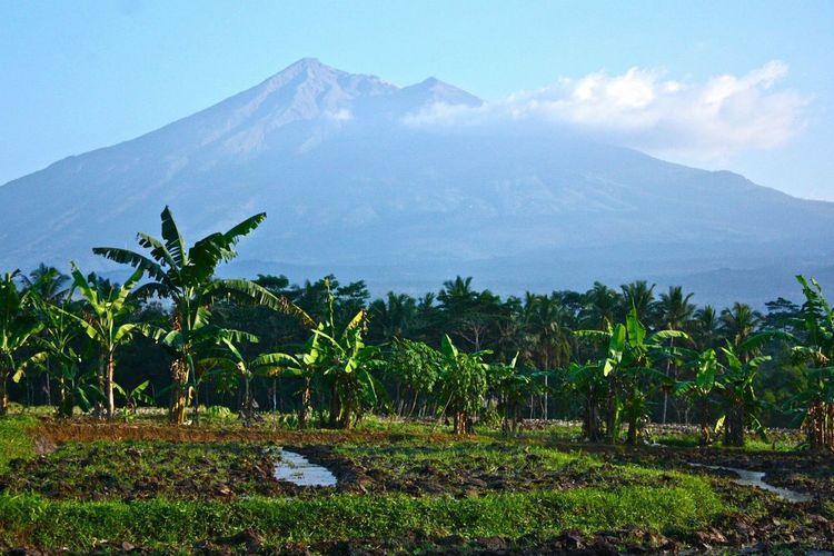Mt Merapi Java INDONESIA Volcán Merapi Rice Field Mountain Nature Growth Beauty In Nature Agriculture Scenics Landscape Tranquility Outdoors Sky Banana Tree Palm Tree Water