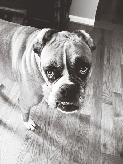 What's up with those Ears Pete  ? Boxer Dogs are The Best