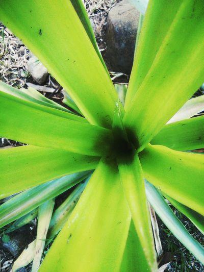 Summerbeauty Plantbeauty 😚 Pineapple