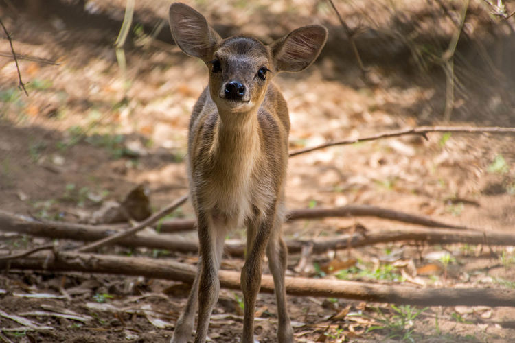 Animal Photography Animal_collection Animals Animals In The Wild Baby Deer Close-up Closeup In Nature Fauna Innocent Face Looking At Camera Nature Photography Nature_collection Wild Wildlife Wildlife & Nature