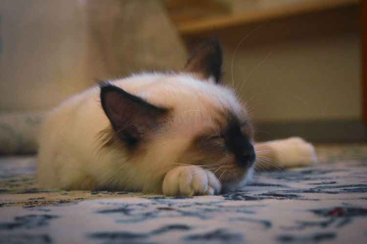 Close-up of cat resting on floor at home