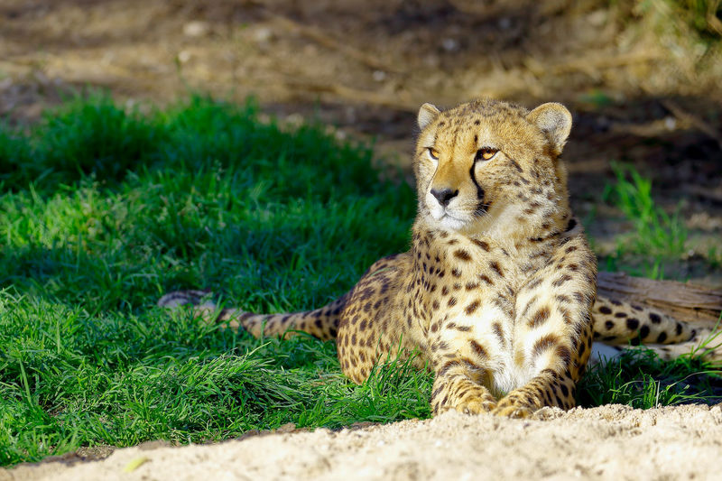 Cheetah Looking Away While Resting On Grass