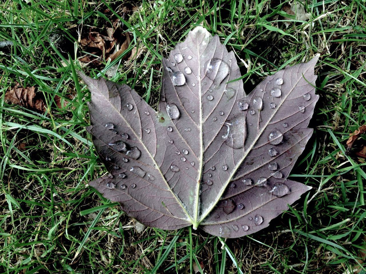 High Angle View of Wet Leaf On Grassy Field