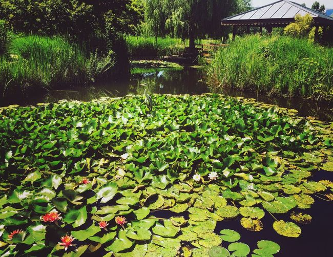 Pond Water Lily Water Growth Floating On Water Lily Pad Nature Plant Leaf Beauty In Nature Reflection Green Color Water Plant Tranquility Outdoors Flower Green No People Day Lotus Water Lily
