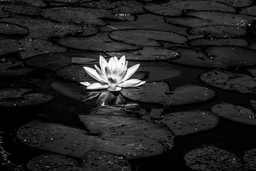 EyeEm Nature Lover EyeEm Selects EyeEm Gallery EyeEmNewHere Beauty In Nature Black And White Bw_collection Close-up Floating Floating On Water Flower Flower Head Flowering Plant Fragility Freshness Growth Lake Lotus Water Lily Nature Outdoors Plant Purity Vulnerability  Water Water Lily