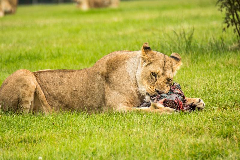 Lion relaxing on field