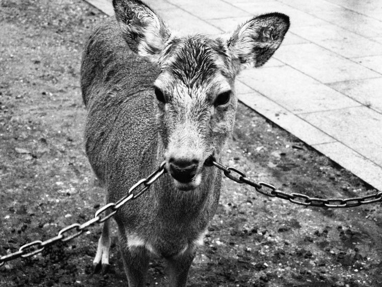 Deer Moments Animal Photography Nara,Japan Japan Photography Beautiful Nature Majestic Creature Wildlife & Nature Chewing Iron Chain Nara Park 奈良市 奈良公園 Sika Deer Spotted Deer Japanese Deer 鹿 日本鹿 2016 March March Showcase Cute 可愛い Black And White Photography Black And White Collection  Nature's Diversities