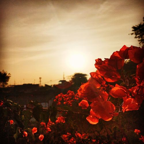 Close-up of red flowering plants against sky during sunset