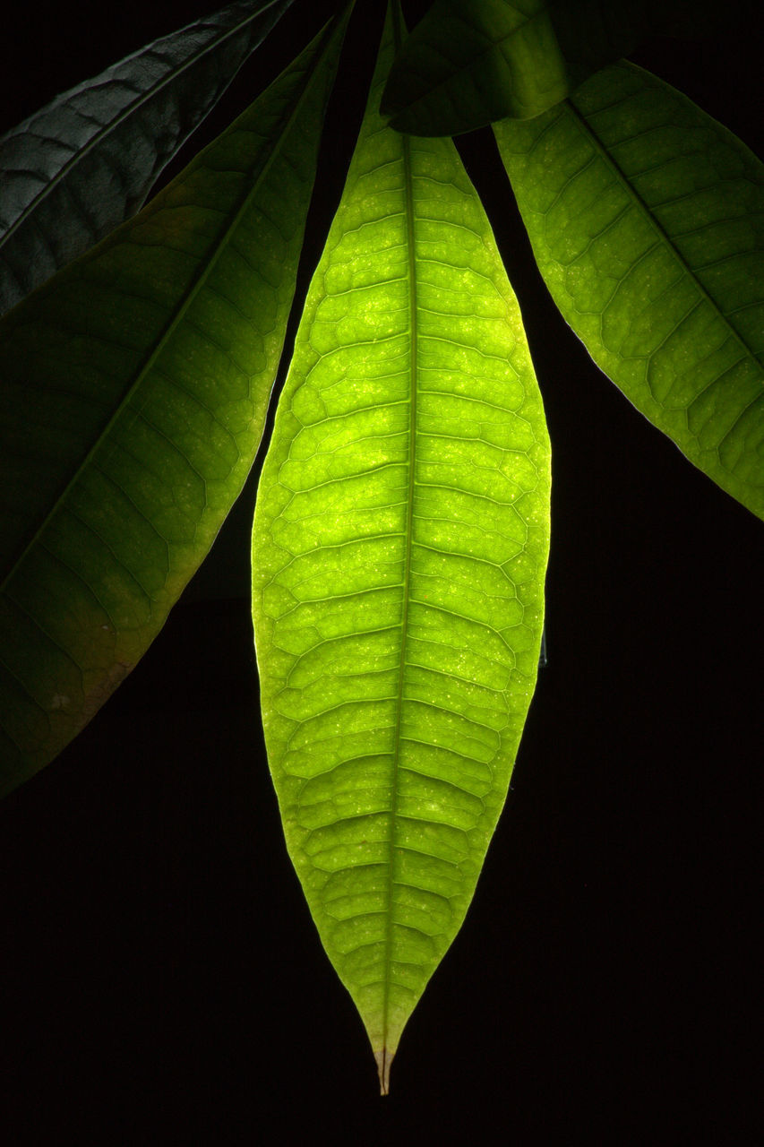 CLOSE-UP OF GREEN LEAVES ON BLACK BACKGROUND