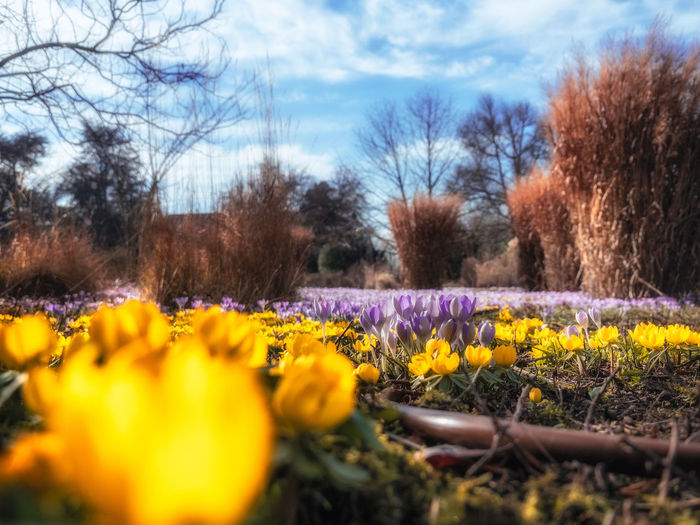 Plant Flower Flowering Plant Tree Yellow Beauty In Nature Nature Sky Land Freshness Growth Landscape Day Tranquility Field Cloud - Sky No People Fragility Selective Focus Park Outdoors Springtime Flowerbed Flower Head Crocus