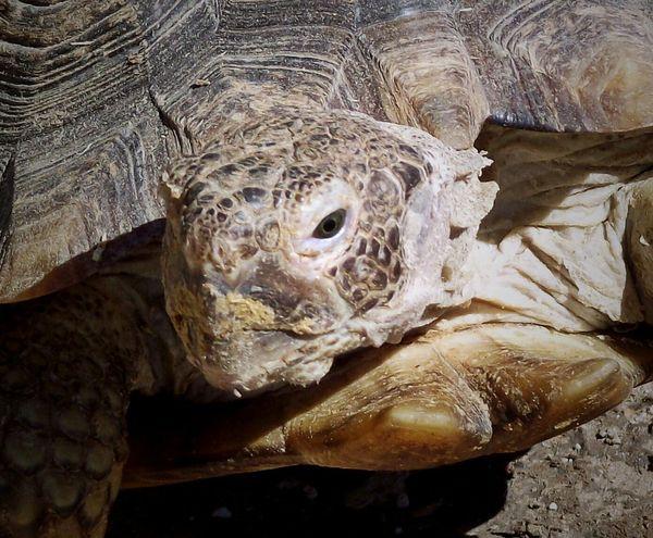 Animal Turtle Wildlife & Nature Giant Desert Turtle Desert Tortoise Nevada Animal Themes Nature Nature On Your Doorstep Capture The Moment Animal Photography Animals In Action