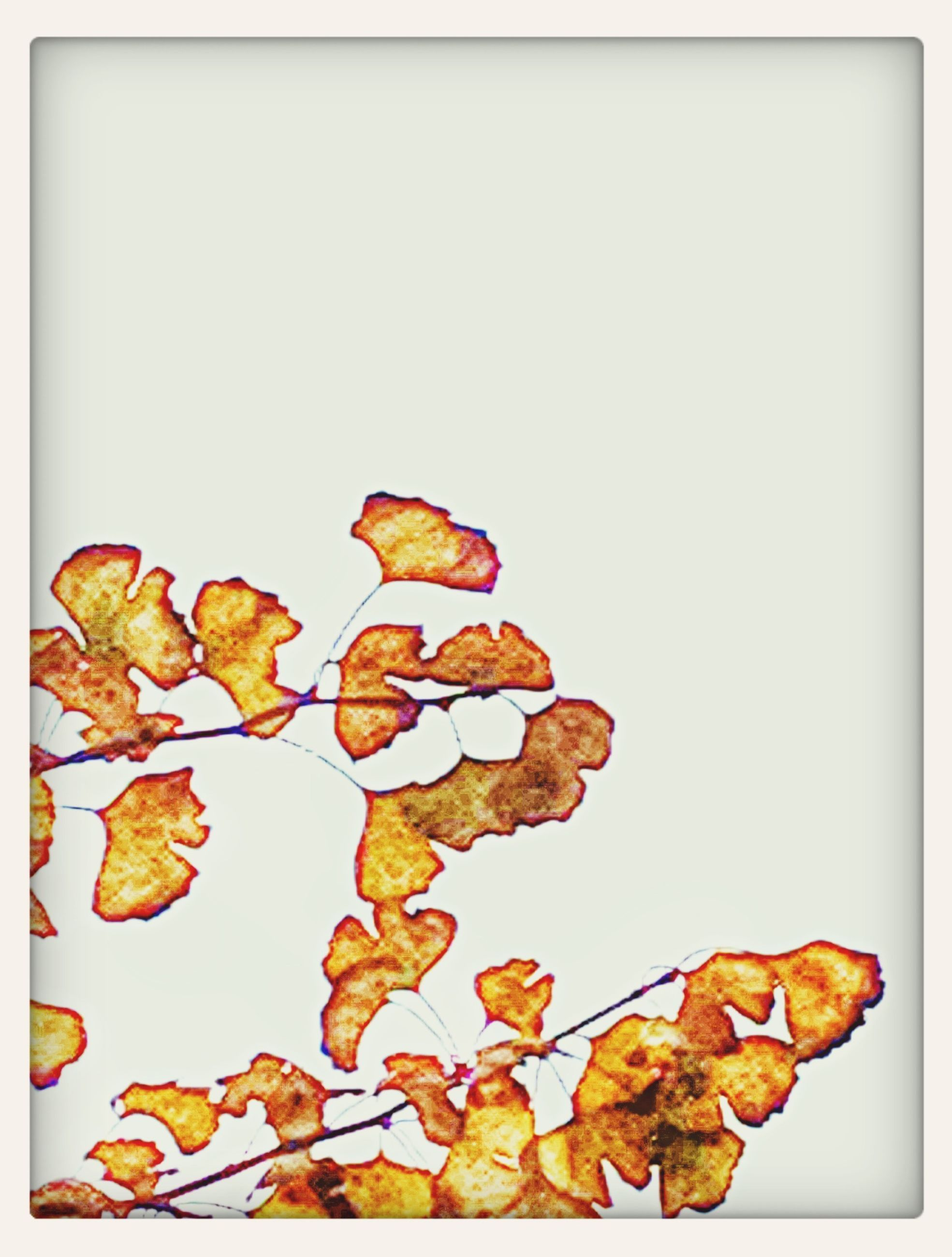 transfer print, leaf, auto post production filter, copy space, autumn, clear sky, change, studio shot, dry, nature, leaves, close-up, plant, fragility, beauty in nature, white background, natural pattern, orange color, growth, vignette