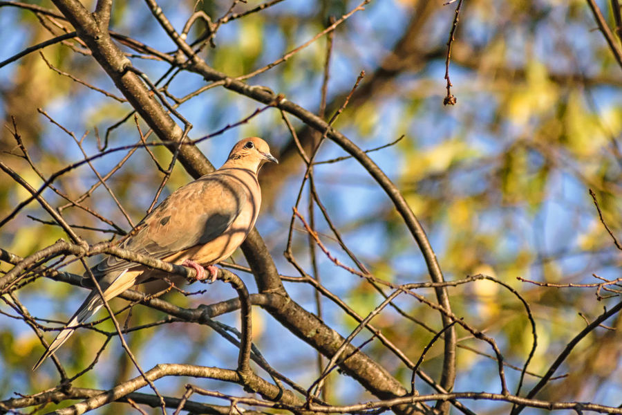 Animal Themes Animal Wildlife Animals In The Wild Bare Tree Bird Branch Day Dove Focus On Foreground Low Angle View Mourning Dove Nature No People One Animal Outdoors Perching Pigeon Sky Tree
