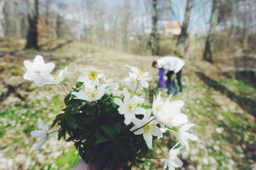 Picking Wood anemone Forest Forest Photography Forestwalk Picking Someone Up Spring Spring Flowers Springtime Unrecognizable Person Woman Wood Anemone The Great Outdoors - 2017 EyeEm Awards