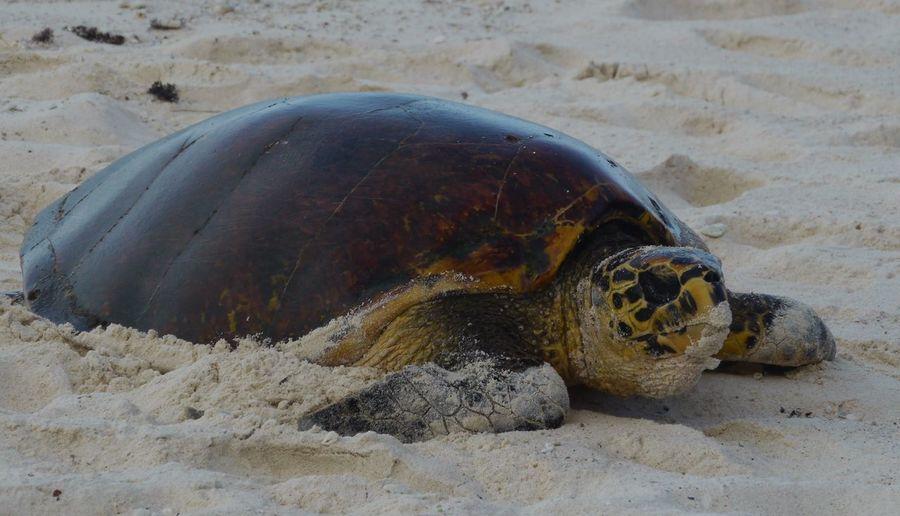 Karettschildkröte kommt zur Eiablage Awesome Nature Indian Ocean Wildlife & Nature Wildlife Photography Loggerhead Turtle On Way To Nest Eiablage Wasserschildkröte Karettschildkröte Loggerhead Turtle La Digue Seychelles