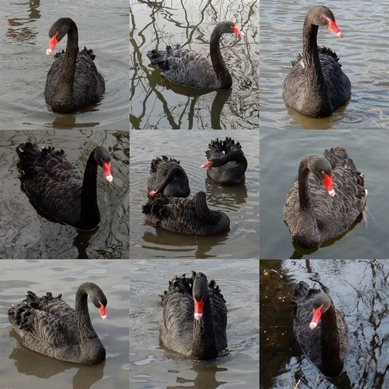 Live For The Story Lake Water Outdoors No People Day Bird Swimming Nature Animal Themes Rural Scene Amazing Beauty The Great Outdoors - 2017 EyeEm Awards BYOPaper! Beauty In Nature Nature Animals In The Wild Animal Wildlife Black Swans