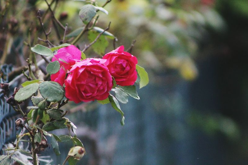 Country Life Flowers,Plants & Garden Countryside Quiet Life Flowers Roses Rose - Flower Nanure Exterior View Plants And Flowers Colour Of Life