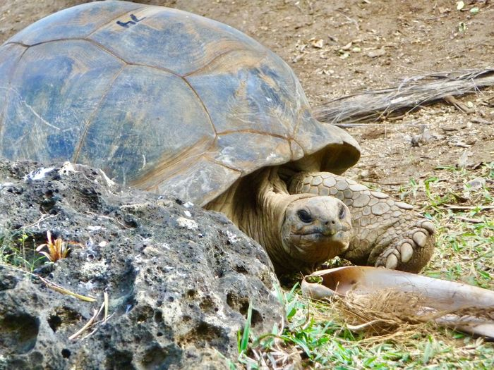 Looking at you Animals In The Wild Animal Themes One Animal Tortoise Animal Wildlife Wildlife Day Resting Tortoise Shell Outdoors Lying Down Reptile No People Nature Endangered Species Portrait Grass Mammal Close-up Turtle Looking At Camera Check This Out Nature Animal
