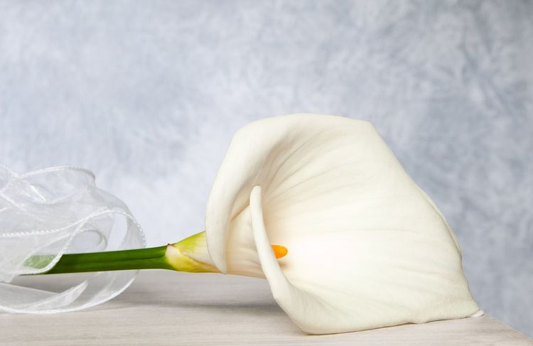White calla Nobody Pistil Lily Flower Background One Flower Green Yellow White Calla Calla Lily Flower White Color Petal No People Flower Head Freshness Fragility Studio Shot Indoors  Close-up Day Beauty In Nature Nature