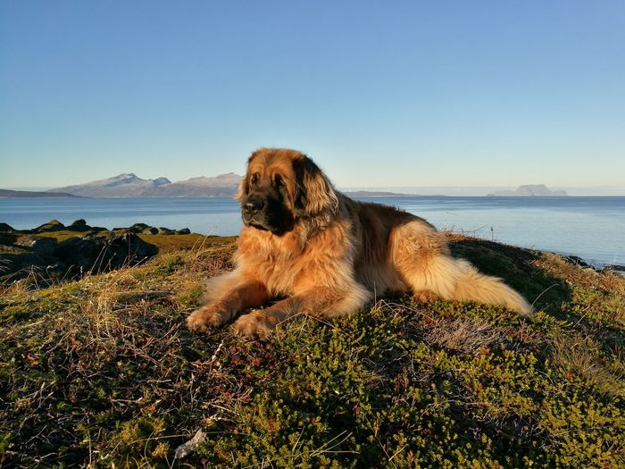 Sea One Animal Nature Outdoors Day Horizon Over Water Dog Leonberger First Eyeem Photo