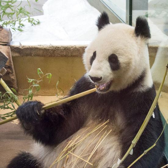 Giant panda eating bamboo at Schonbrunn zoo Bamboo Close-up Day Giant Panda Mammal No People One Animal Schönbrunn Sitting