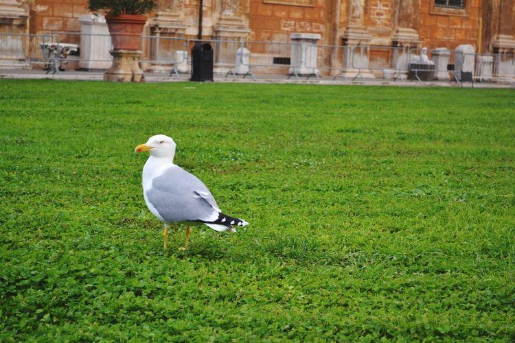 Mew Seagull