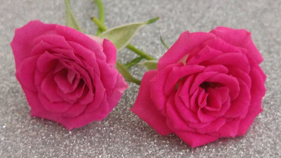 Pink Color Close-up No People Indoors  Flower Flower Head Nature Roses🌹 Pink Roses 2 Roses