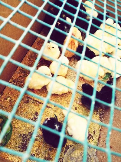 Bird Cage Animal Themes Birdcage Chicken - Bird Trapped Animals In Captivity Domestic Animals No People Livestock Nature Outdoors Day Close-up Reflection Pixelated Rural Scene Old-fashioned Growth Window Building Exterior Scenics Tranquility Abandoned EyeEmNewHere