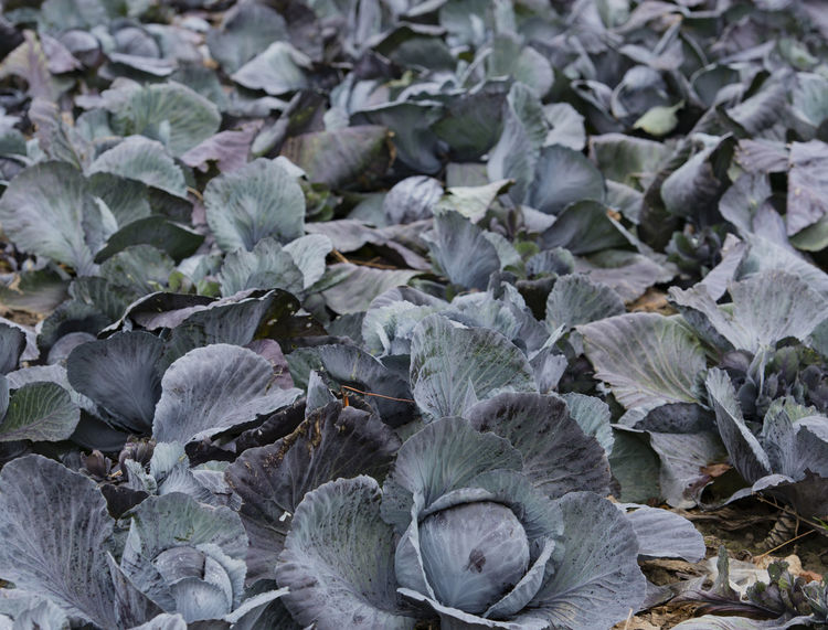 Red cabbage and cabbage on a cabbage field in Schleswig Holstein Agriculture Field Food And Drink Nature Plant Red Cabbage Seeds Agricultural Land Cabbage Cabbage Field Environment Food Food Industry Genetic Engineering Genetic Research Grain Harvest Harvest Healthy Eating Leaves Meadow Schleswig Holstein