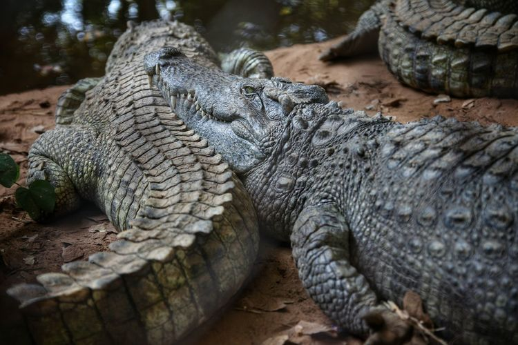จระเข้ Crocodile Animals Animal Photography Animal Wildlife Alligator Alligators Reptile Reptiles Reptile Photography