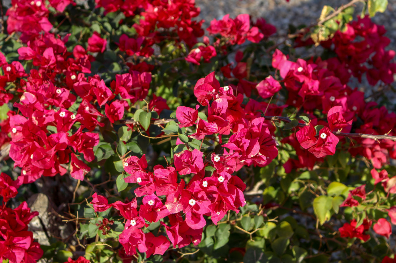 growth, flower, beauty in nature, nature, plant, fragility, petal, blooming, red, freshness, outdoors, no people, bougainvillea, flower head, leaf, day, close-up