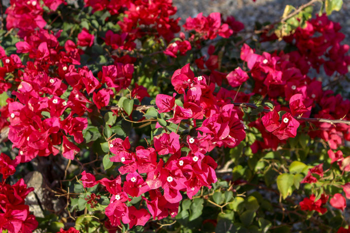 Flowers along the Colorado River in Ehrenberg, Arizona Beauty In Nature Blooming Bougainvillea Close-up Day Flower Flower Head Fragility Freshness Growth Leaf Nature No People Outdoors Petal Plant Red