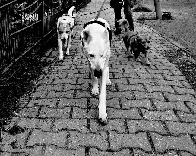 View Of Dogs Walking On Cobblestone Street