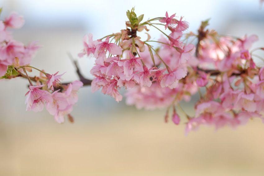 Kawazu-zakura Tokyo,Japan Sakura Flower 河津桜 サクラ Hexanon 57mm f1.4