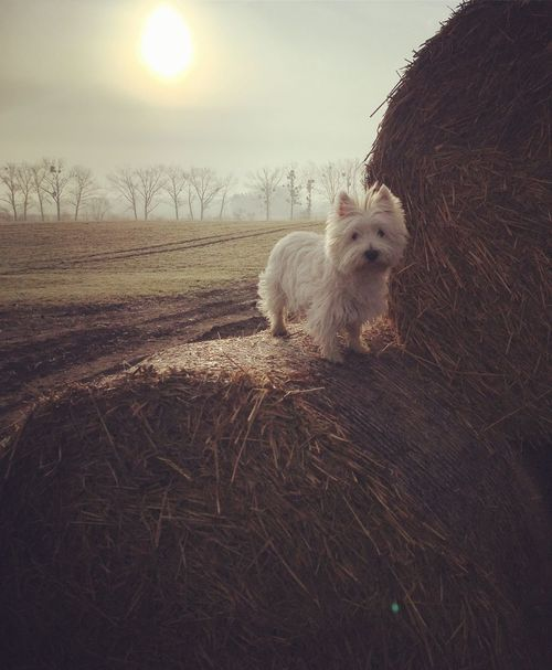 n Hello Hello World Dog Spring Goodgirl Lady Ilovemydog My Dog Is Cooler Than Your Kids My Love Westie Queen Morning Walking Pet Photography  Family Field Sun Sky Dogs Good Morning Cute Beautiful Smile Dogslife Springtime