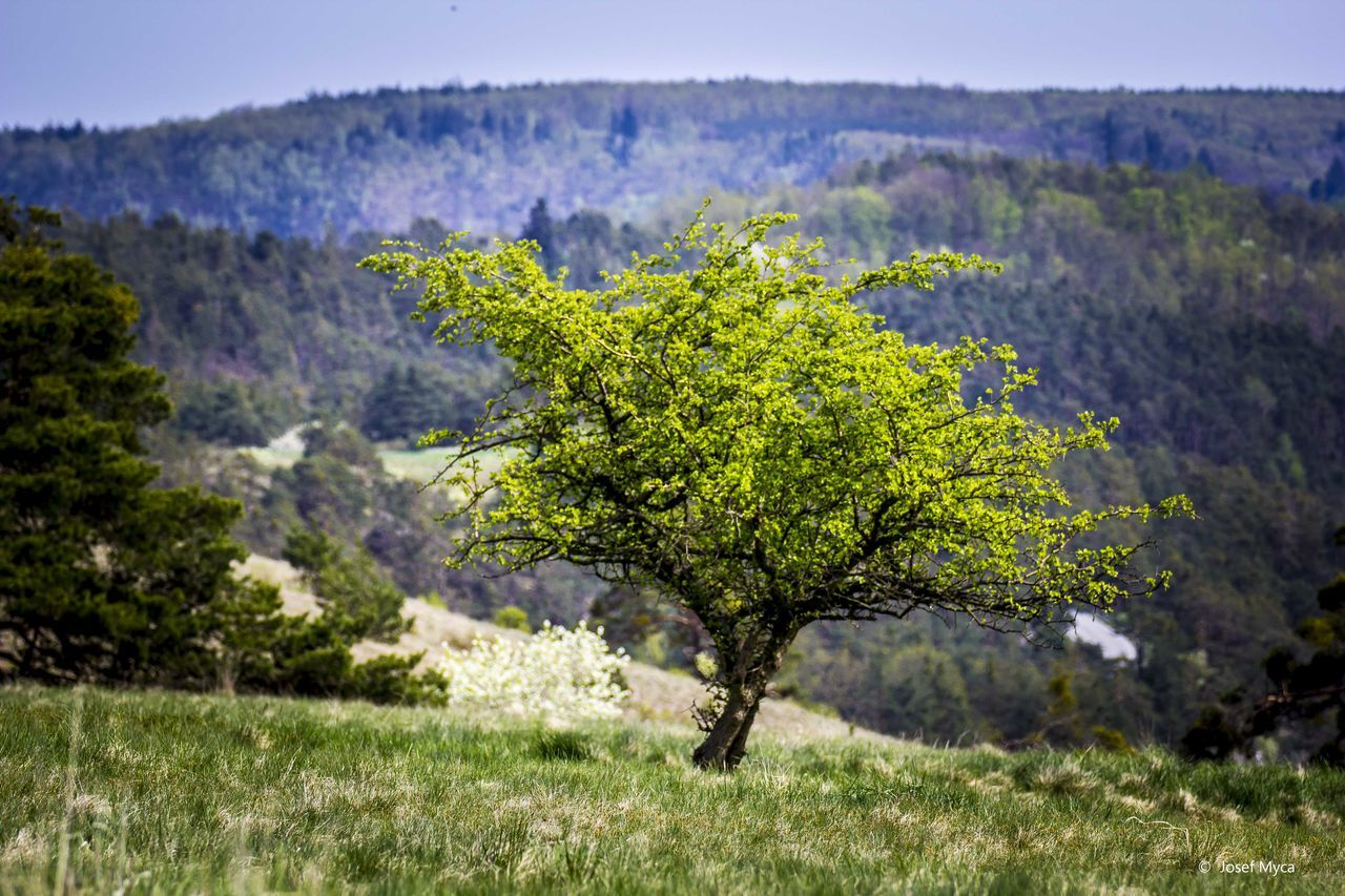 tree, nature, landscape, no people, scenics, tranquil scene, beauty in nature, field, day, green color, outdoors, grass, tranquility, mountain, growth, sky, close-up