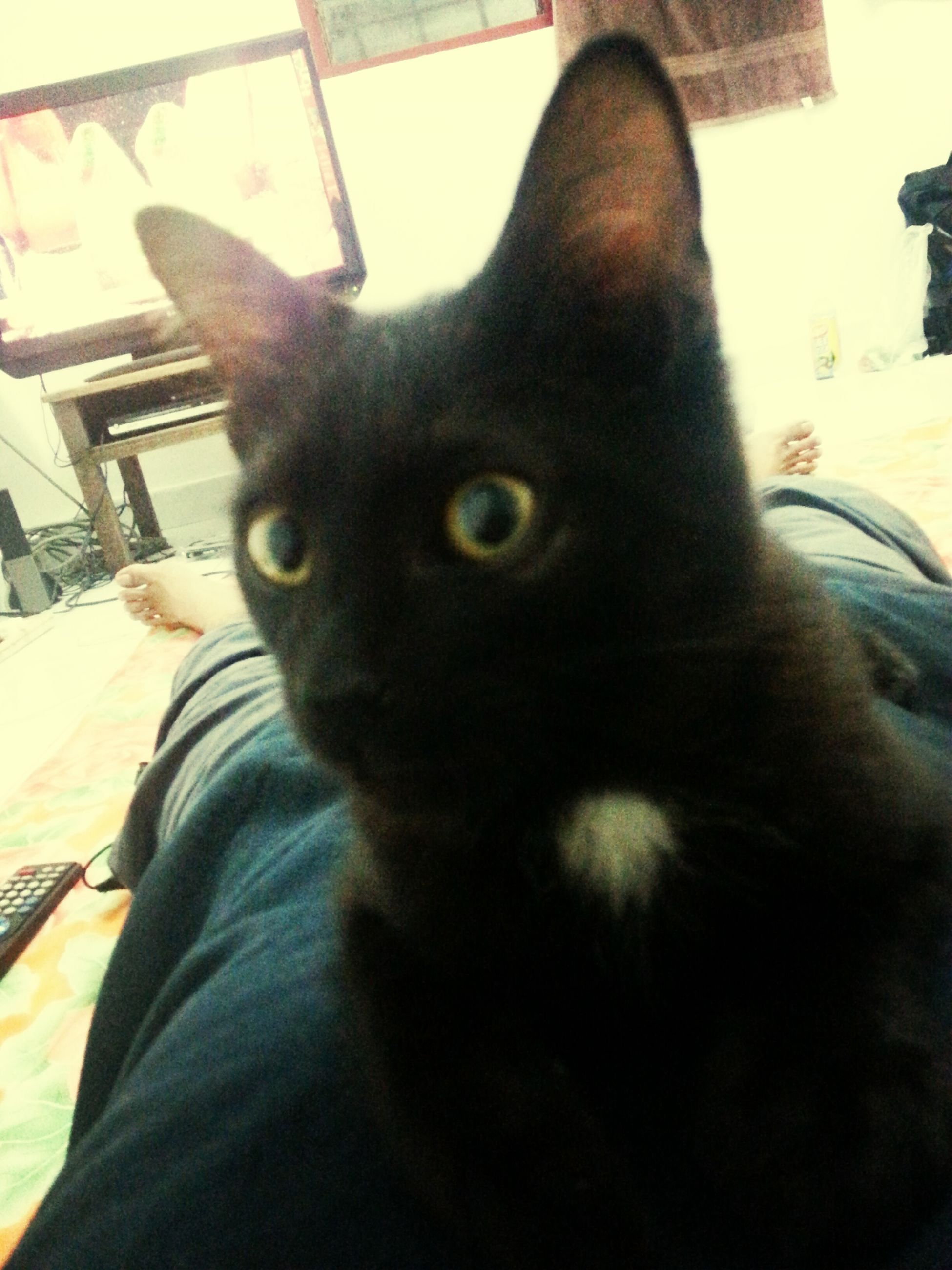 one animal, animal themes, domestic animals, pets, domestic cat, mammal, cat, feline, portrait, looking at camera, indoors, whisker, sitting, close-up, black color, focus on foreground, staring, home interior, animal head