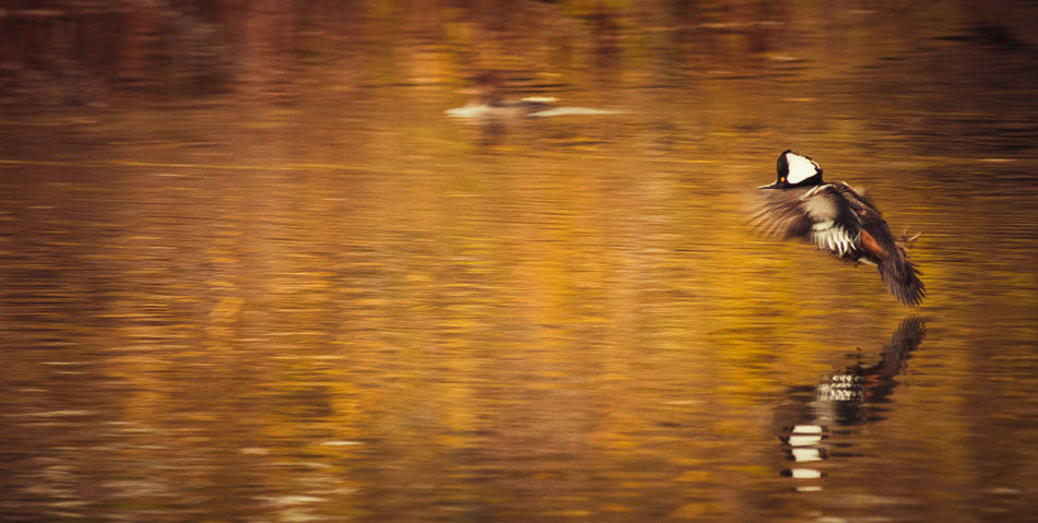 Animal Themes Animal Wildlife Animals In The Wild Beauty In Nature Animal Photography EyeEm Nature Lover My Point Of View Wildlife & Nature Riverside Photography Wildlife Birds Wildlife Photography Waterfront Hooded Merganser Water Bird Reflection Nature Photography Tranquility Wildlifephotography Autumn Colors Nature Nature Sunset Sunsetting On Water