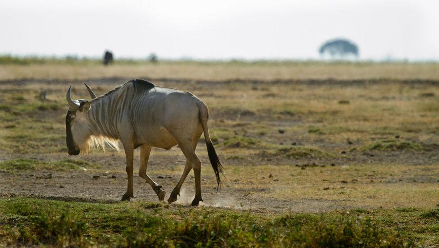 A wildebeest walking along a dusty field