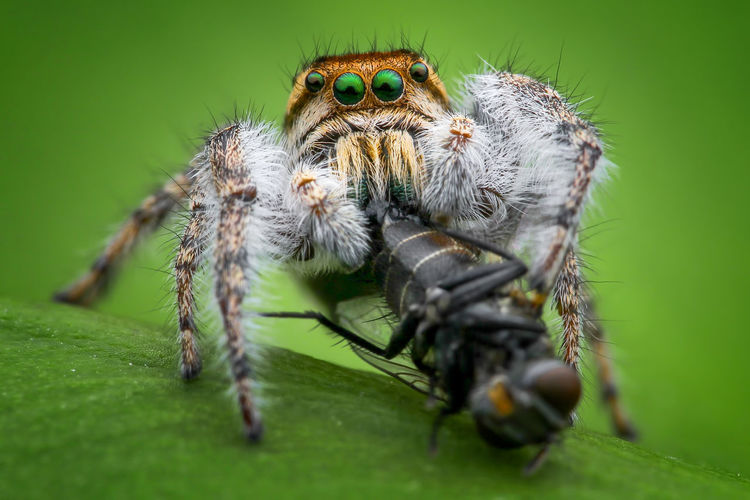 Jumping spider eating fly