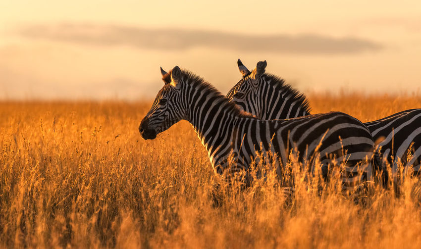 Side view of zebras standing on grassy field during sunset