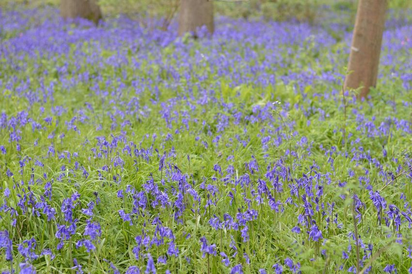 Bluebells Flower Growth Field Nature Beauty In Nature Plant Day Outdoors Tranquility Fragility Freshness No People Rural Scene Blooming Close-up Nature_collection England In Bloom EyeEm Best Shots Eye4photography  EyeEmNewHere