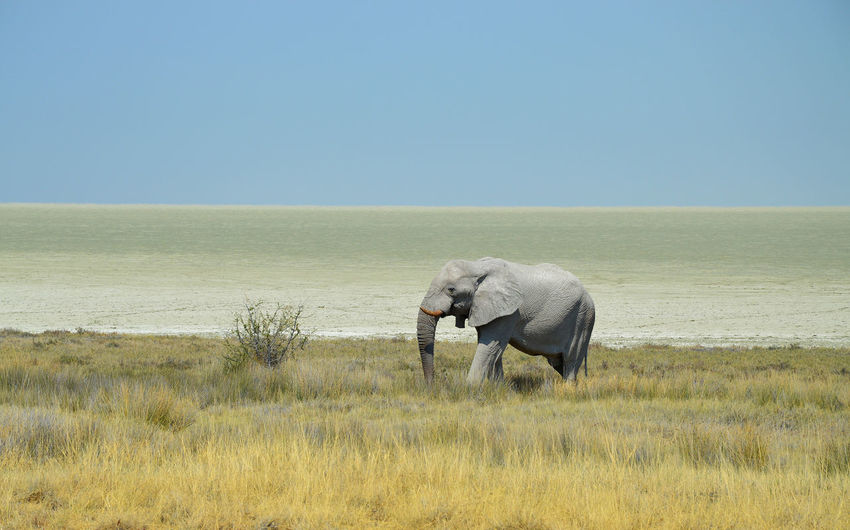 Elephant standing on grassy field by sea against clear sky