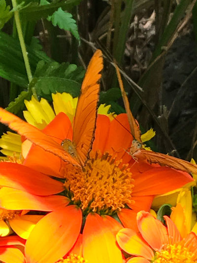 Beauty In Nature Blooming Butterflies For Africa Butterfly - Insect Butterfly Collection Butterfly On Flower Close-up Day Flower Flower Head Fragility Freshness Growth Leaf Nature No People Orange Color Outdoors Petal Plant