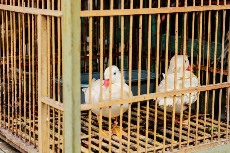Cage Animal Themes Animal Animals In Captivity Birdcage Bird Vertebrate Parrot Domestic Pets Group Of Animals Trapped No People Domestic Animals Two Animals Day Animal Wildlife Outdoors White Color Bird Market Jakarta Bird Market Traditional Marketplace Traditonal Market Illegal Activity Bird Hunting  Catching Birds Hobbies Hobby Bird Lover