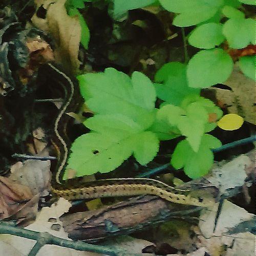 Garter Snake Emerging from the Leaves Gartersnake Garter_snake EyeEm Nature Lover In The Forest Snake Emerging From The Leaves Forest Forest Path Snakes Smartphone Photography
