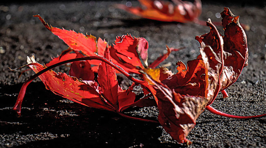 autumn leave Leaves On The Ground Autumn Beauty In Nature Change Close-up Day Dry Fragility Leaf Leaves_collection Maple Maple Leaf Nature No People Outdoors Red Seasons Change Seasons Greetings Seasonscollection Water
